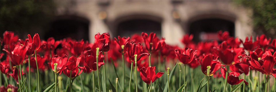 Red tulips bloom in front of the Indiana Memorial Union.